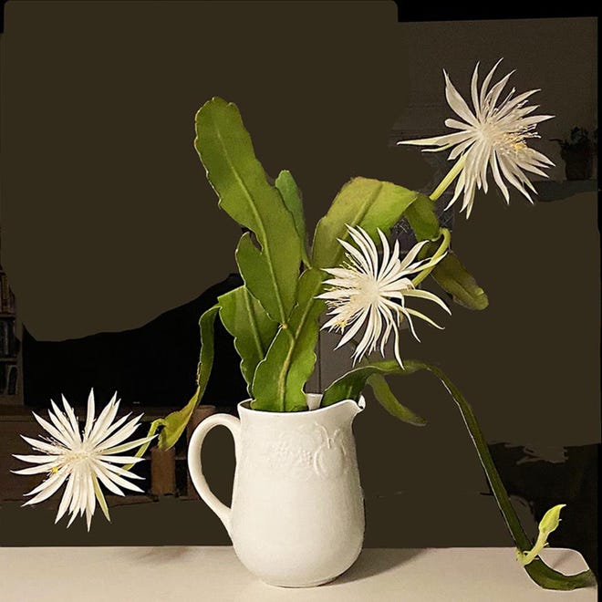 St. Augustine South resident Phebe Wehr cultivated this Queen Of The Night cactus from a sample given to her at a flower show two years ago. They bloom in the dark.