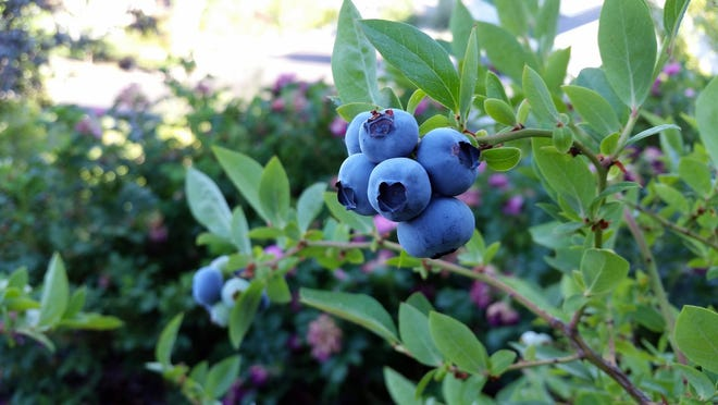 While there are many factors that affect the output of fruit crops, like blueberries, there are several things people can do to put their plants in the best situation possible for a long, bountiful growing season.