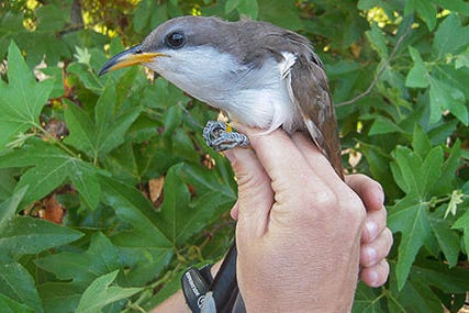 The western yellow-billed cuckoo in an undated photo.