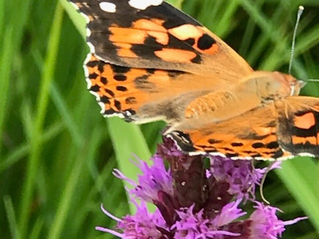 A Painted Lady butterfly travels down the shaft of a liatris in the prairie on Caldwell Road, adjacent to Harvey One-Room School, gathering nectar.