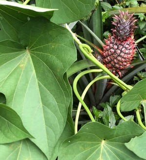 Peaceful coexistence: My sweet potatoes and pineapples get along well (and, come to think of it, might taste good together too)