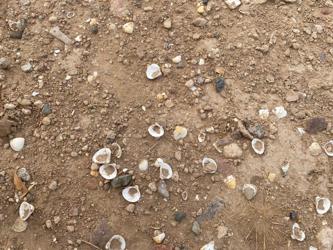 Corbicula fluminea, also called Asiatic Clams, line the banks of many Arizona canals. The Arizona Republic's Valley 101 podcast explores what they are and how they got there.