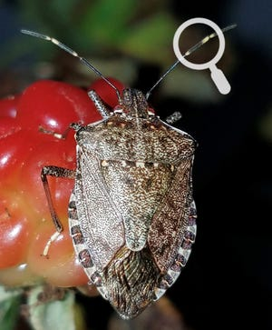 Notice the distinctive black and white bands on the antennae of this brown marmorated stink bug adult on a developing blackberry fruit.