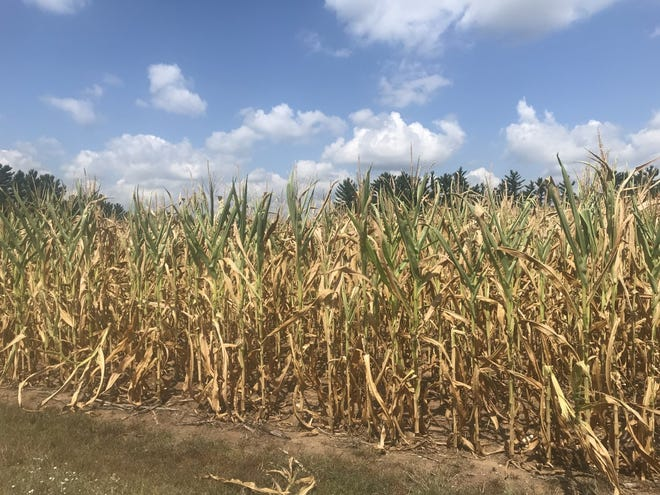 Heat stressed corn is quickly drying out in fields in some parts of Wisconsin thanks to lack of rainfall.