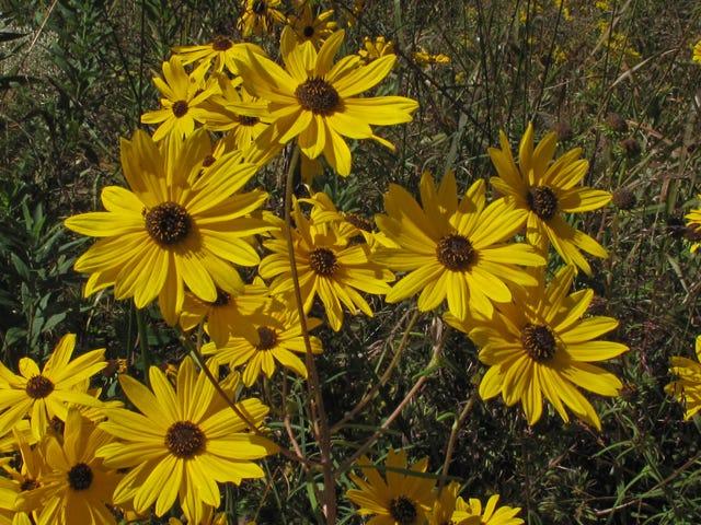The swamp sunflower is a good choice for rain gardens.