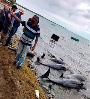 Dolphins lay dead on the shore on the Indian Ocean island of Mauritius on Wednesday. At least 14 dolphins have washed up and died on the coast of the Indian Ocean island of Mauritius, where a Japanese ship ran aground and spilled more than 1,000 tons of fuel, report environmental groups and experts. (Eshan Juman/Greenpeace via AP)
