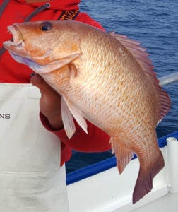 Gray snappers are widely known as mangrove snapper, mangoes and sometimes 'dog-tooth snapper.'