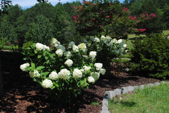 Years ago, we planted a large group of limelight hydrangeas along the right side of our driveway that present creamy white clusters with a tinge of green, and they are quite beautiful. They bloom abundantly without a great deal of care, which are my favorite kind of plants.