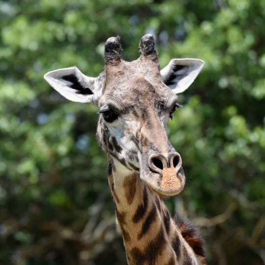 Malaika, a 23-year-old female Masai giraffe at the Louisville Zoo, was euthanized after experiencing several months of health problems.
