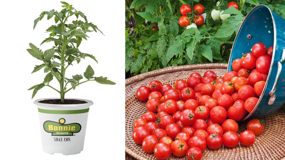 Tomatoes are one of my favorite beginner-friendly potted plants