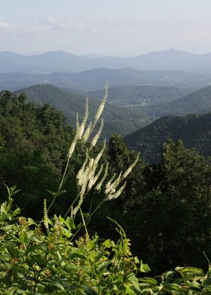 This mystery plant is found in a variety of rich forest types, such as cool mountain slopes and shaded ravines and coves, but also in piedmont settings.