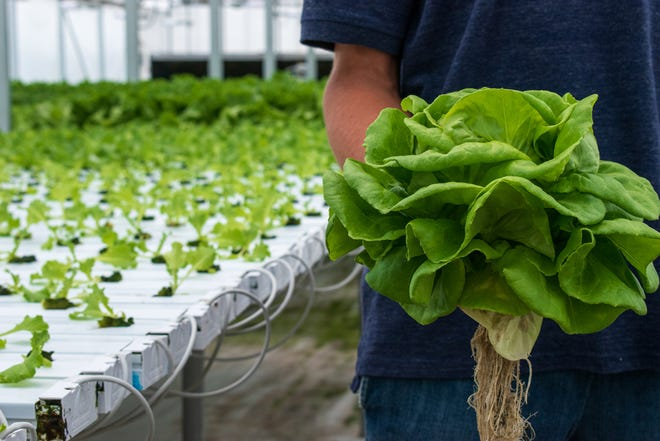 Fresh greens grown in water instead of soil at Chef's Harvest greenhouse are the type of lettuce served at Der Dutchman Restaurant.
