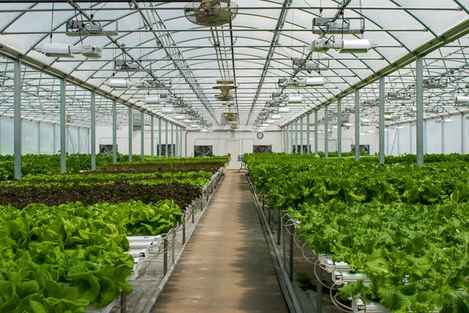 The greenhouse at Chef's Harvest Gourmet Greens is full of hydroponic lettuce and other greens. The greenhouse provides the lettuce served at Der Dutchman Restaurant.