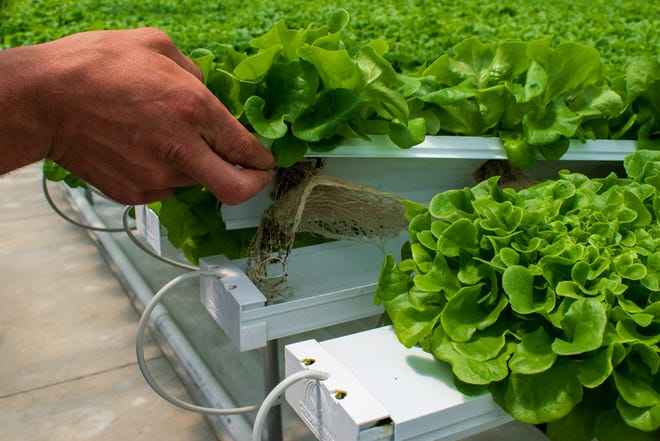 The roots of hydroponic lettuce thrive in water, not the soil of the earth.