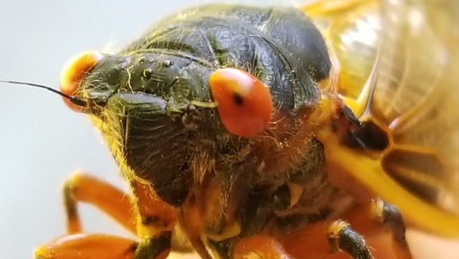 A close-up image of a Brood VI 17-year cicada that emerged in 2017 in parts of Western North Carolina.