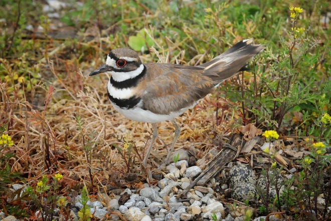 """A killdeer nests in a mere scrape at the edge of a rock drive. When threatened, she protects her eggs (shown at bottom right) in a """"broken-wing"""" act, luring predators away."""