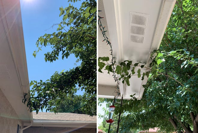 Pruning branches during the summer is the way to grow if your goal is to control tree size. These mulberry limbs scraping rain gutters need to be pruned back this month.