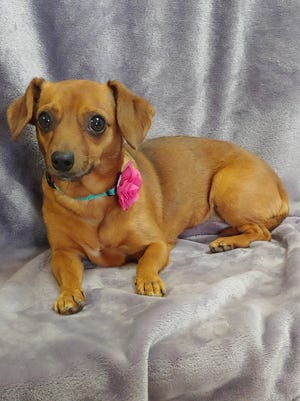 Cookie is a very sweet girl who really just wants a parent of her own.