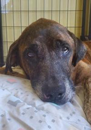 Bojangles, a senior male Catahoula Leopard dog, is available for adoption from SAFE Pet Rescue of Northeast Florida. Call 904-325-0196. Vaccinations are up to date.