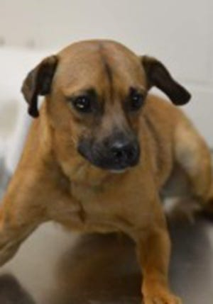 Aldrich, an adult male black mouth cur and terrier mix, is available for adoption from SAFE Pet Rescue of Northeast Florida. Call 904-325-0196. Vaccinations are up to date.