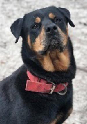 Axle, an adult male rottweiler, is available for adoption from SAFE Pet Rescue of Northeast Florida. Call 904-325-0196. Vaccinations are up to date.