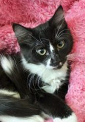 Marella, a baby female tuxedo, is available for adoption from Wags & Whiskers Pet Rescue. Routine shots are up to date. For information, call 904-797-6039 or go to wwpetrescue.org to see more pets.