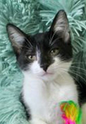 William, a baby male domestic short hair, is available for adoption from Wags & Whiskers Pet Rescue. Routine shots are up to date. For information, call 904-797-6039 or go to wwpetrescue.org to see more pets.