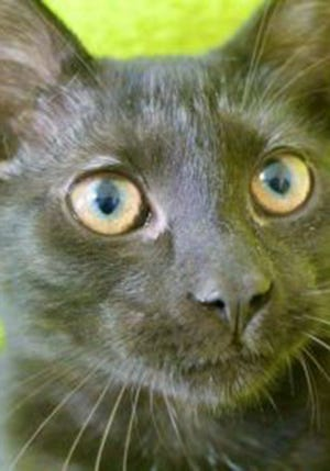 Mario, a baby male domestic short hair, is available for adoption from Wags & Whiskers Pet Rescue. Routine shots are up to date. For information, call 904-797-6039 or go to wwpetrescue.org to see more pets.
