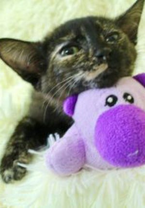 Roxanne, a baby female tortoiseshell, is available for adoption from Wags & Whiskers Pet Rescue. Routine shots are up to date. For information, call 904-797-6039 or go to wwpetrescue.org to see more pets.