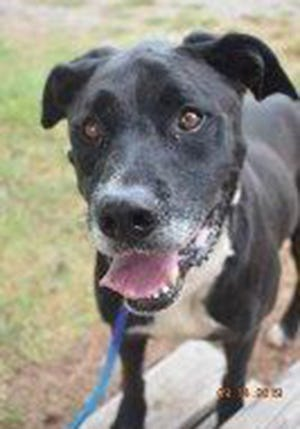 Billie, an adult male Labrador Retriever, is available for adoption from SAFE Pet Rescue of Northeast Florida. Call 904-325-0196. Vaccinations are up to date.
