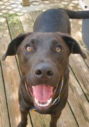 Bear, a young male Labrador Retriever and boxer mix, is available for adoption from SAFE Pet Rescue of Northeast Florida. Call 904-325-0196. Vaccinations are up to date.