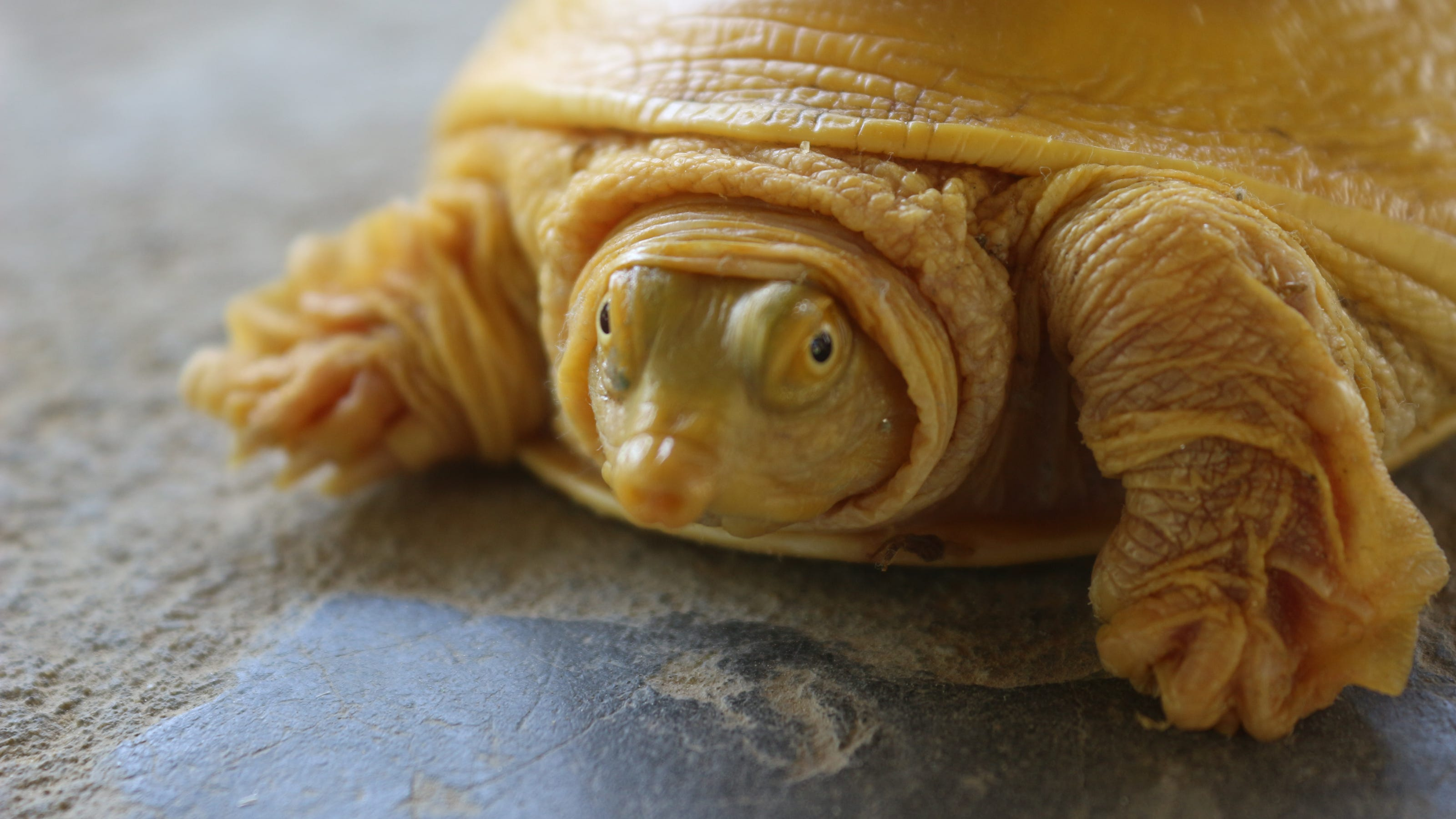Victor Valley College prof publishes paper on rare golden turtle