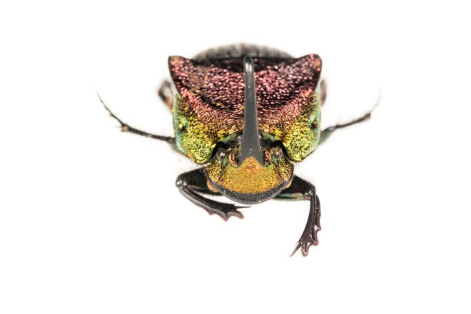 Great Smoky Mountains National Park hosts several native and introduced dung beetle species such as Phanaeus vindex, shown here. Photo courtesy of Dan Mele, Discover Life in America