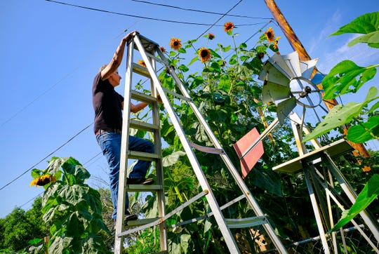 Curtis Wood climbs a 12-foot ladder to approach the tops of sunflowers growing in the system he developed for his home garden Thursday, Aug. 27, 2020, in St. Cloud.