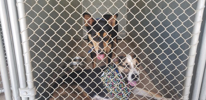 Lady and Lusaka are two of the 15 dogs that were not adopted at the Ardmore Animal Shelter on Saturday. Hundreds of pets were adopted from the shelter during August as part of a nation-wide Clear the Shelter event.