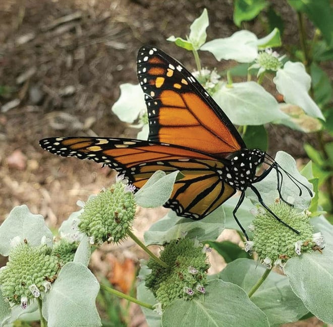 The University of Tennessee Arboretum Society's 5th annual Butterfly Festival will be available online Saturday, Sept. 19.