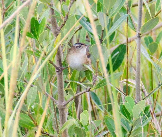 Marsh wren spotted at Dr. Robert Hayling Freedom Park.