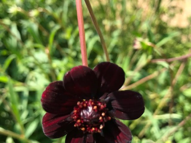 The small bloom of cosmos Chocamocha displays its deep maroon, almost dark brown color flowering from mid to late summer.