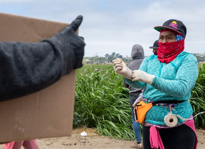 A woman puts on gloves before she gets back to picking strawberries in Watsonville, Calif., on Friday, Aug. 7, 2020.