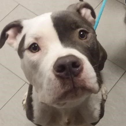 Fred is a good-looking blue and white pit bull with a very gentle soul, who is looking for a family to love!