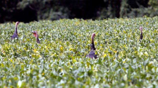 Wild turkeys are seen running from the road in a bean field  on the west side of Township Road 1255 on Tuesday.