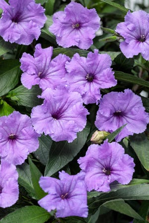 Ruellias make pretty bedding plants with dark foliage and flowers in white, violet, purple, mauve and pink.