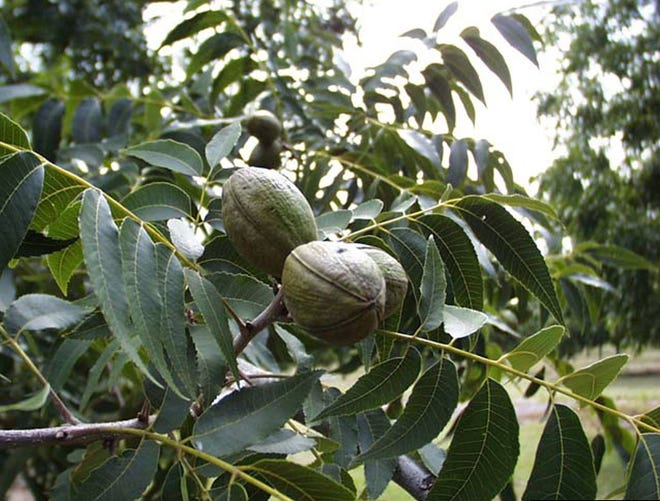Pecan trees require cross pollination, so be sure to plant at least two different varieties.