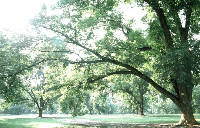 A pecan tree provides much needed shade from the summer heat but grow very tall and need room to spread out.
