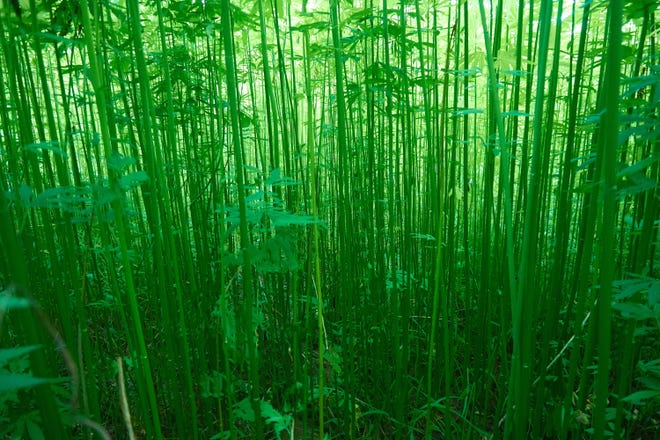 In this photo provided by Panda Biotech, industrial hemp plants grow high and lush and somewhat resemble bamboo.