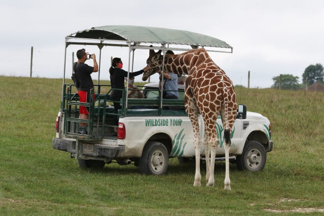 A Wildside tour visits with a giraffe at The Wilds. The Wildside tours differ from regular tours by getting closer to animals.