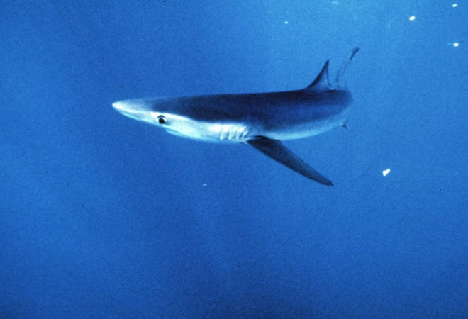 A blue shark is seen in this undated photo. Shark finning is the practice of removing the dorsal fin from sharks, mostly blues, to be used for such delicacies as shark's fin soup.