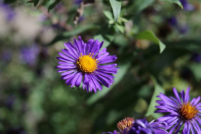 New England Aster is a favorite food of Monarch butterflies as they make their fall migration south.