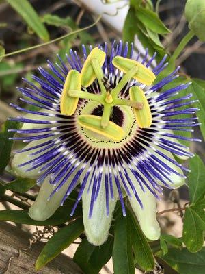 Passiflora, the passion flower.