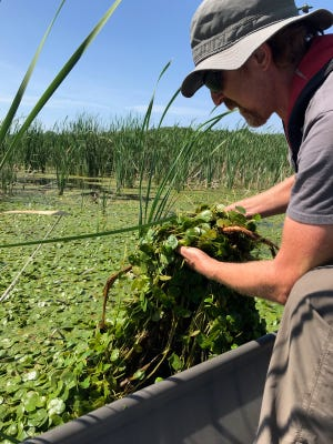 EGLE Aquatic Biologist Tom Alwin removes European frog-bit from a backwater area in Pentwater River State Game Area.